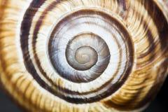 Orchard snail -Helix pomatia shell. Rchard snail -Helix pomatia - shell with dark background Stock Image