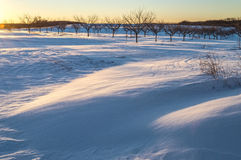Orchard In Snow Stock Image