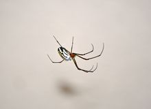 Orchard spider Stock Photos