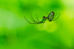 Orchard Spider. Female Orchard Spider waiting patiently in her nest Stock Photos