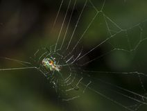 Orchard spider (Leucauge venusta) Stock Photo