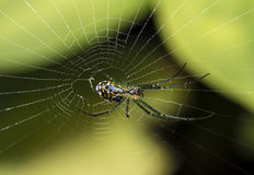 Orchard spider (Leucauge venusta) Stock Images