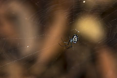 Orchard Spider Royalty Free Stock Image