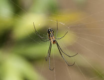Orchard Spider Royalty Free Stock Photo