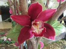 Orchard Splendour. Darling Orchid show displaying the orchard splendour South Africa Spring time stock photo