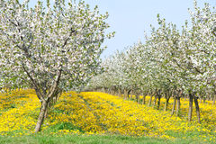Orchard  in spring Royalty Free Stock Photography