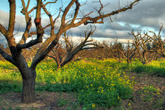 Orchard in spring. Late afternoon day in orchard, early spring stock images