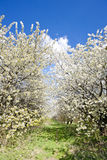 Orchard in spring Stock Image