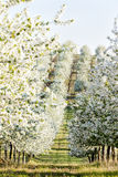Orchard in spring Stock Photography