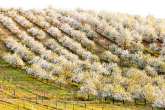 Orchard in spring Royalty Free Stock Photos