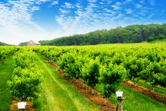 Orchard in spring. Rows of fruit trees in a spring orchard Royalty Free Stock Images
