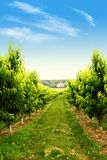 Orchard in spring Royalty Free Stock Image