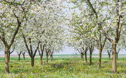 Orchard in spring Royalty Free Stock Images