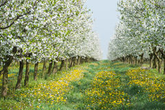 Orchard in spring Stock Photos