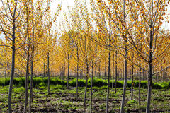 Orchard in spring royalty free stock photo