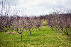 Orchard in the spring Stock Images