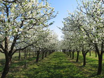 ORCHARD IN SPRING Stock Images