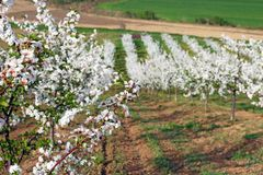 Orchard spring season landscape Royalty Free Stock Photo