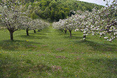 Orchard in spring time Stock Images