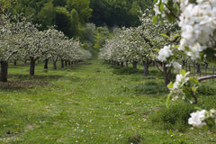 Orchard in spring time Royalty Free Stock Photos