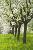 Orchard - spring trees Royalty Free Stock Images