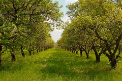 Orchard during springtime Stock Photo