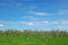 Orchard in springtime Stock Photos