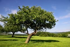 Orchard in summer time. Old fruit tree in Orchard in summer time in Germany Stock Photos