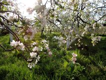 Orchard. In the sun in the spring in the evening time Royalty Free Stock Photos