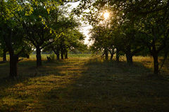 Orchard during sunset Stock Images