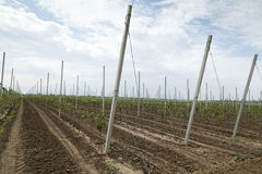 Orchard with support trellis Stock Image
