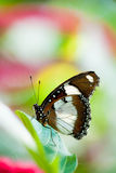 Orchard swallowtail butterfly Royalty Free Stock Photos