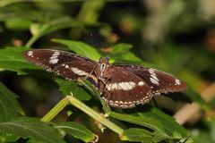 Butterfly - Orchard Swallowtail - Papilio aegeus Royalty Free Stock Image