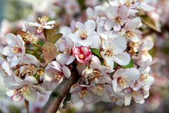 Orchard tree with Spring Colour Royalty Free Stock Images