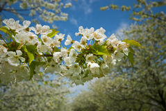 Orchard. Trees during flowering. Spring Royalty Free Stock Photo