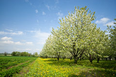 Orchard. Trees during flowering. Spring Stock Photography