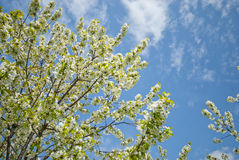 Orchard. Trees during flowering. Spring Royalty Free Stock Photography