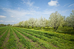 Orchard. Royalty Free Stock Photos
