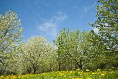 Orchard. Trees during flowering. Spring Stock Photo
