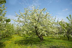Orchard. Royalty Free Stock Images