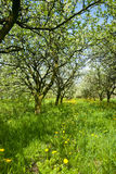 Orchard. Stock Images