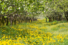 Orchard. Trees during flowering. Spring Royalty Free Stock Images