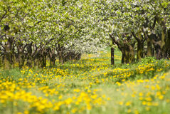 Orchard. Trees during flowering. Spring Stock Images