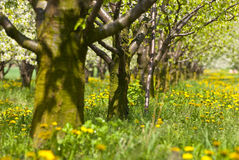 Orchard. Trees during flowering. Spring Stock Photos