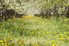 Orchard. Trees during flowering. Spring Stock Image