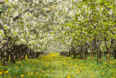 Orchard. Royalty Free Stock Photography