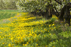 Orchard. Trees during flowering. Spring Royalty Free Stock Photos