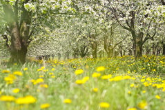 Orchard. Trees during flowering. Spring Royalty Free Stock Image