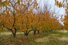 Orchard. Trees with red autumn leaves. Dry grass. Greece royalty free stock photo