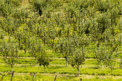 Orchard trees Royalty Free Stock Photos